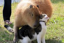 Is dit een capibara?