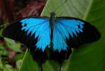 Butterflies & Moths - Daintree Rainforest with Tony's Tropical Tours / There are many species of butterflies and moths in the Daintree region. The Daintree Rainforest is home to approximately 58% of Australia's Butterflies