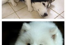 husky / Adorable cuties