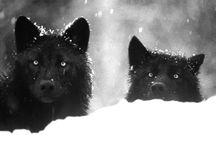 wildlife: wolf & fox