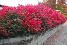 Shrubs / All about landscaping shrubs. How to care for and plant landscaping shrubs. Buy landscaping shrubs online at www.theplantingtree.com