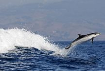 DOLPHINS!!! (Boto&PacificStriped)