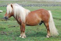 Shetland pony coat colour