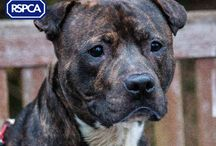Staffys, pit bulls and rottys