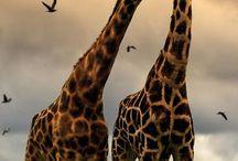 die girafe