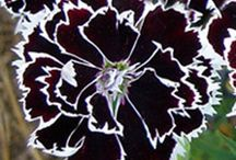 Garden - dianthus / by Fiona Wallace