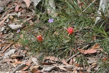 Australian Natives / Native Australian plants in our highland garden and the surrounding area.