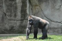 gorilla chimpanzee Orangutan / by Hikaru Fujita
