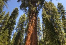 The biggest trees in the world / The biggest trees in the world