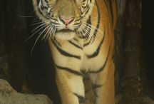 Tigresa de Bengala naranja / Al Zoo de Barranquilla llegó una tigresa de bengala para darle color a la exhibición de tigres blancos. ¡Conócela!