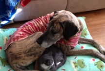 Great Dane Love (and other pet love too) / My Great Dane is my constant companion, she is the meaning of Velcro Dane! Love her and my cat to pieces. Life without the love of a pet, is no life at all. / by Tabitha Getz