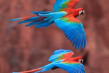 Meus Amores / Pisitacídeos Psittaciformes Psittaciformes é uma Ordem de aves que inclui mais de 360 espécies e de 80 géneros das famílias Psittacidae, Strigopidae e Cacatuidae. O grupo inclui aves muito populares e conhecidas, tais como: papagaios periquitos araras maracanãs tuins jandaias