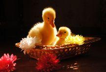 ANIMAL • Duck