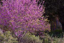 flowering trees to buy