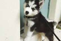 Husky for life