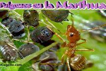 Blog Cannabico PowerCogollo.com