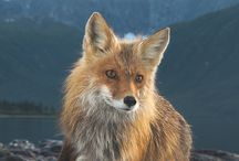 foxes and other animals