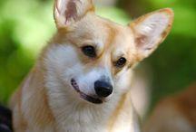 Corgi / The best dogs forever♥