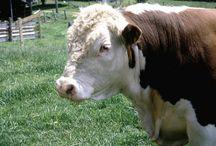 Criaçao de gado