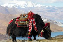 Tibet / Traditional homeland of the Tibetan people and some other ethnics in the north-east of the Himalaya, Asia.