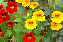 Eetbare planten