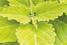 Pantone Greenery / Greenery is the newly trending color of the year! Pantone released their color of the year and it's a fresh bright yellow-green. Sometimes the foliage on a plant can really speak and make a great impression.Here are some plant varieties that will help you celebrate this renewing color in your garden.