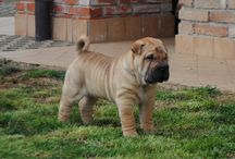 HANYANG KENNEL / Shar-pei: last litter ....Candy x Sam