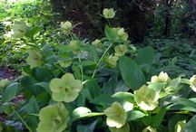 Lenten Rose - Hellebore - Shade Plant / Beautiful shade flowers, Hellebore or Lenten Rose