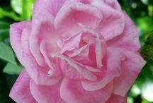 Rosen süßer Duft, Harmonie