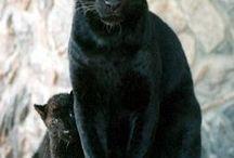 Black panters