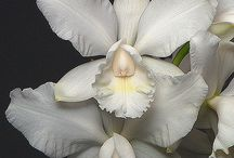 Orchids / White and Black