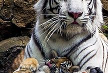 Love #TIGERS.........!!!!!!!! What majestic animals they are!