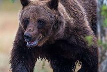 European Brown Bear, Europese Bruine Beer / Europese Bruine beer op de grens van Finland en Rusland.