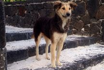 Pepsi the Mauritian beach dog / Pepsi is a Mauritian beach dog. In Mauritius they poison and torture the dogs. This dog was lucky,she was saved by us from the 'catch and kill' that the government were planning and now lives a very happy life in the UK