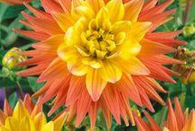 Sonho em forma de flor