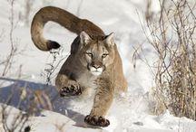 Puma América do Norte