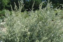 Wormwood  (Artemisia absinthium) / All things related to Wormwood