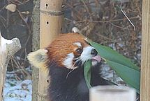 Red Panda Gifs!