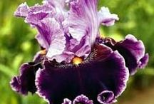 Iris's