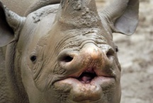 Save our Rhinos / If there is any contribution that you can make to support this cause, anything at all, A FB like, a little tweet or a share, cash!!! Please support a worthy cause. The crumbs will make the loaf!!