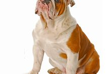 English Bulldog / Everybody in the UK loves Bulldogs. As the National dog of Great Britain, his character is associated with British determination and stubborn courage, as well as with the legendary John Bull. The Bulldog is used as a mascot in hundreds of sports clubs and businesses. See more at: http://www.noahsdogs.com/m/dogs/breed/English-Bulldog#sthash.Id68YQxK.dpuf www.NoahsDogs.com