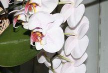 Meine Orchideen