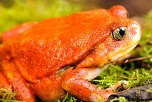 Les amphibiens de Madagascar / Madagascar abriterait plus de 300 espèces de grenouilles, dont 90% sont endémiques.