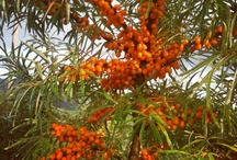 #SeaBuckthorn pictures from #MyHavtorn of Sweden / Swedish organic skin care made by Sea Buckthorn oil.