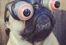 Friday pug