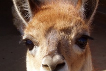 Alpacas and Paco vacunas / by Sandy Gulliksen Fairholm