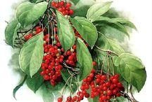 Schisandra Chinensis / Schisandra chinensis