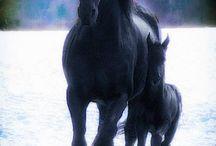 Freesian horses