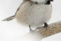 I love chickadees!