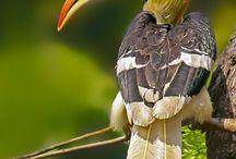 Sarvinokkalinnut  - Hornbills